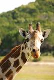 Retrato de una jirafa Fotografía de archivo