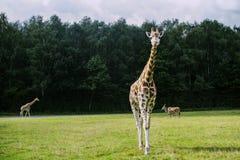 Retrato de una jirafa Fotos de archivo libres de regalías