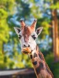 Retrato de una jirafa Imagen de archivo libre de regalías