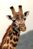 Retrato de una jirafa africana Fotos de archivo