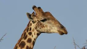 Retrato de una jirafa que rumia almacen de metraje de vídeo
