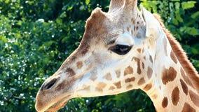 Retrato de una jirafa (rothschildi de los camelopardalis del Giraffa) almacen de metraje de vídeo