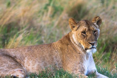 Retrato de una leona de reclinación en hierba Masai Mara Imagen de archivo libre de regalías
