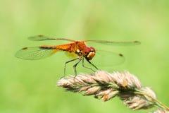Retrato de una libélula en un fondo verde Imagenes de archivo