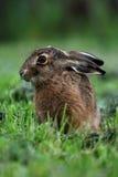 Retrato de una liebre del marrón de la sentada (europaeus del lepus) Foto de archivo libre de regalías