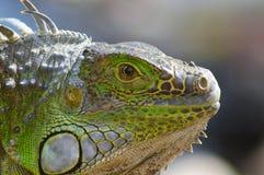Retrato de una luz hermosa de la tarde de la iguana Imágenes de archivo libres de regalías