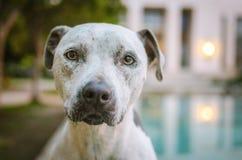 Retrato de una mezcla del pitbull Fotografía de archivo libre de regalías