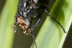 Retrato de una mosca en verde Imagen de archivo