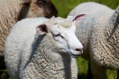 Retrato de una oveja Fotos de archivo
