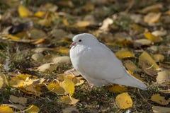 Retrato de una paloma blanca Foto de archivo libre de regalías