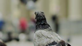 Retrato de una paloma en la ciudad almacen de metraje de vídeo