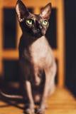 Retrato de una raza hermosa Sphynx del gato Imagen de archivo