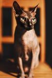 Retrato de una raza joven Sphynx del gato Foto de archivo
