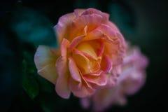 Retrato de una rosa imagen de archivo