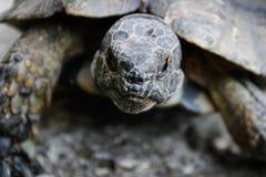 Retrato de una tortuga marrón oscura de la tierra foto de archivo
