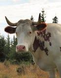 Retrato de una vaca Imágenes de archivo libres de regalías