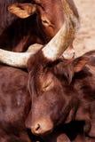 Retrato de una vaca de Ankole-Watusi o de Watusi Imagenes de archivo