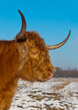Retrato de una vaca coloreada roja de la montaña imagenes de archivo