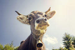 Retrato de una vaca con una campana Imágenes de archivo libres de regalías
