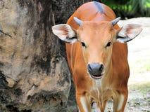 Retrato de una vaca de Banteng Fotos de archivo