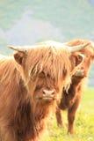 Retrato de una vaca escocesa en Lofoten Fotos de archivo