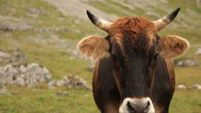 Retrato de una vaca marrón almacen de metraje de vídeo
