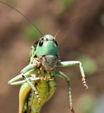 Retrato de uns locustídeo. Fotos de Stock