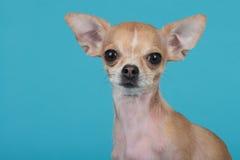 Retrato de vista bonito da chihuahua em um fundo azul Imagens de Stock