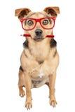 Retrato de vista vermelho do lápis dos vidros do cão isolado fotografia de stock