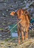 Retrato de vitela recentemente nascida da vaca em uma vila indiana fotos de stock royalty free