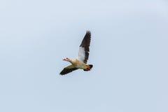 Retrato de volar el aegyptiaca de Alopochen del ganso del Nilo Imagenes de archivo