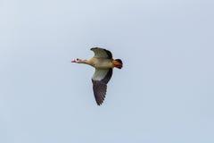Retrato de volar el aegyptiaca de Alopochen del ganso del Nilo Imagen de archivo