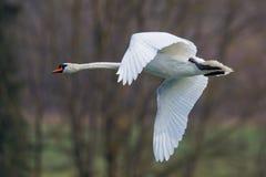Retrato de volar el cisne mudo (olor del Cygnus) imagen de archivo