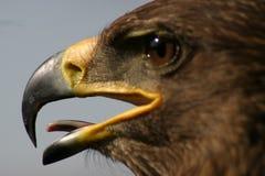 Retrato del águila 2 Foto de archivo libre de regalías