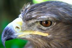 Retrato del águila Fotografía de archivo libre de regalías