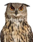 Retrato del Águila-Buho eurasiático Foto de archivo libre de regalías