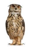Retrato del Águila-Buho eurasiático Imagen de archivo