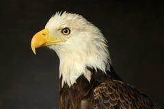 Retrato del águila calva Imagen de archivo libre de regalías