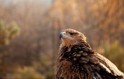 Retrato del águila de la montaña Foto de archivo libre de regalías