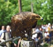 Retrato del águila de oro Imágenes de archivo libres de regalías
