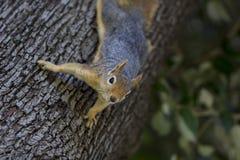 Retrato del ángulo bajo de una ardilla de árbol que sube abajo un árbol fotos de archivo