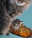 Retrato del Año Nuevo de un pequeño gatito con el gato de la madre Imagenes de archivo