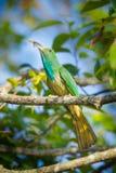 Retrato del Abeja-comedor Azul-barbudo Fotografía de archivo libre de regalías
