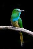 Retrato del Abeja-comedor Azul-barbudo Foto de archivo libre de regalías