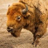 Retrato del animal del bisonte Imagen de archivo