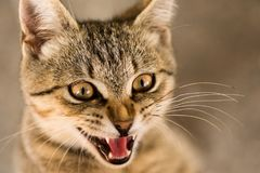 Retrato del animal del gato de gato atigrado Imagen de archivo libre de regalías