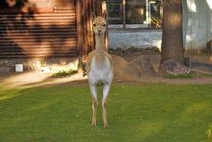 Retrato del animal del Vicugna Foto de color El animal camina en hierba verde Imagenes de archivo