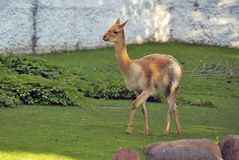Retrato del animal del Vicugna Foto de color El animal camina en hierba verde Imagen de archivo
