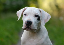 Retrato del argentino del dogo del perrito Foto de archivo