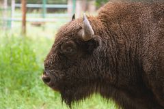 Retrato del aurochs Foto de archivo libre de regalías
